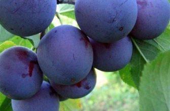Слива Евразия — урожайный и зимостойкий сорт
