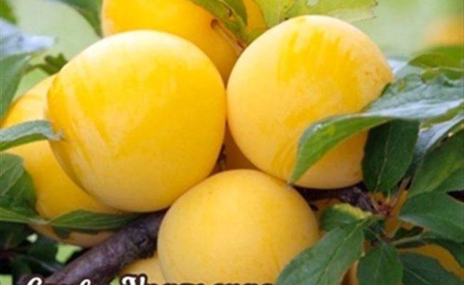 Слива Медовая жёлтая: как посадить и вырастить.