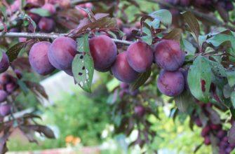 Слива Венгерка: описание сорта, фото, выращивание