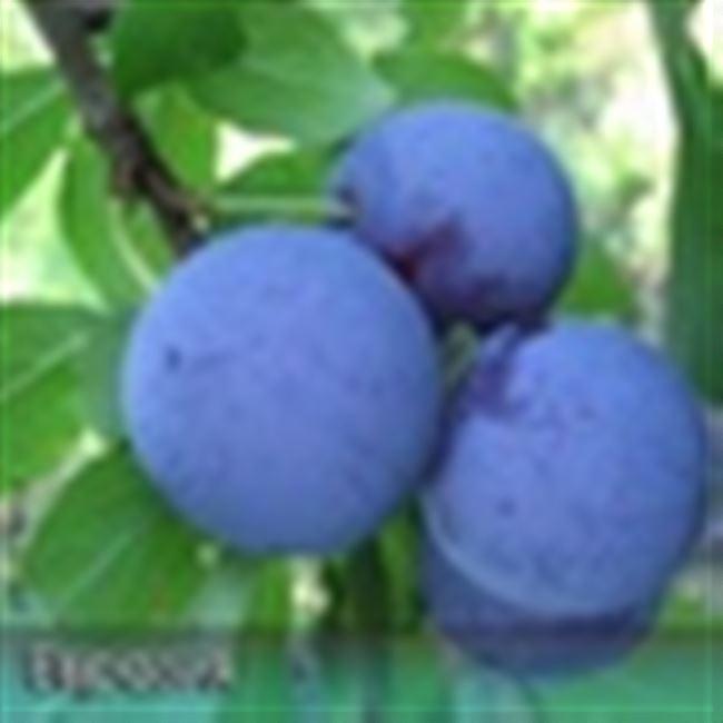 Слива Виола: описание сорта и характеристика