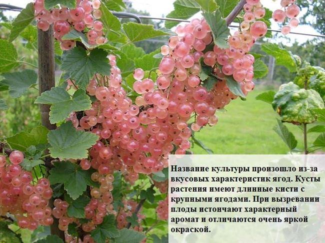 Смородина розовая, описание растения