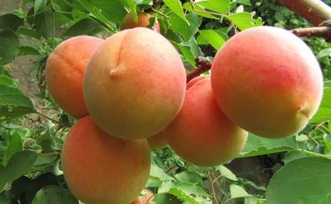 Сорт абрикоса Айсберг