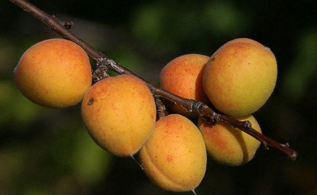 Сорт абрикоса Сибиряк Байкалова