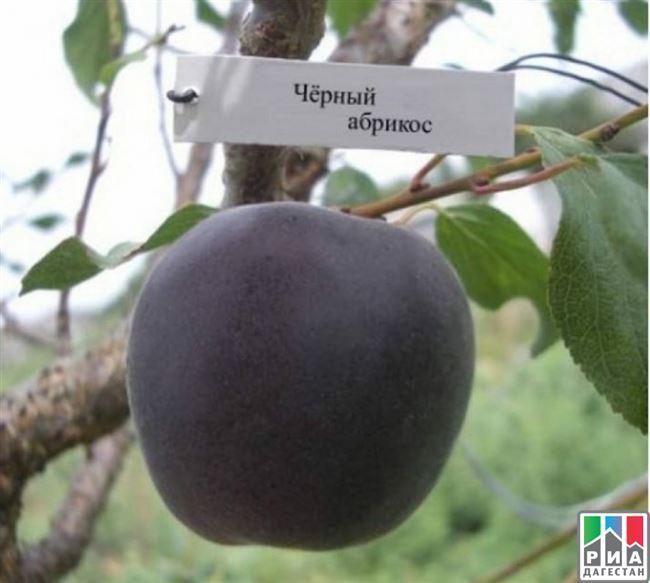 Сорт абрикоса черный принц: плюсы и минусы