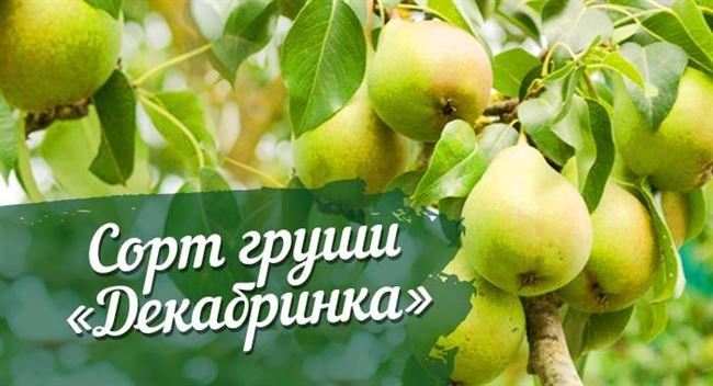 Сорт груши Декабринка