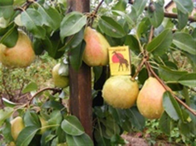 Сорт груши Велеса: урожайность, морозостойкость, посадка и уход, отзывы, описание плодового дерева