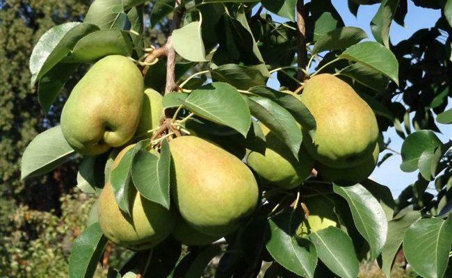 Сорт груши Верная: всегда сохраняет свой крупный урожай
