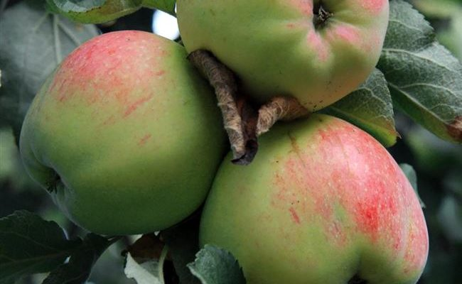 Сорт яблони Антоновка обыкновенная – описание, морозостойкость, фото, отзывы