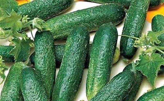 Сорт огурцов Алекс: описание и характеристика, выращивание и уход