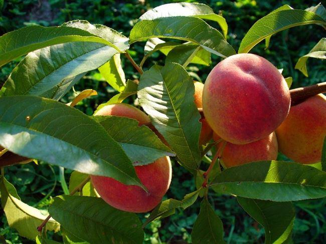 Сорт персика Воронежский кустовой описание, характеристика и отзывы, особенности выращивания