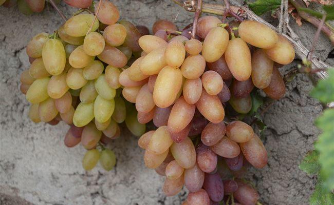 Сорт винограда Юбилейный
