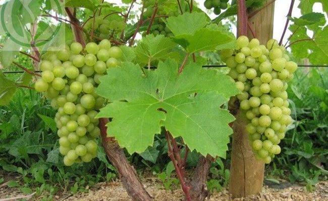 Сорт винограда Кристалл: отличный вкус и поразительные возможности