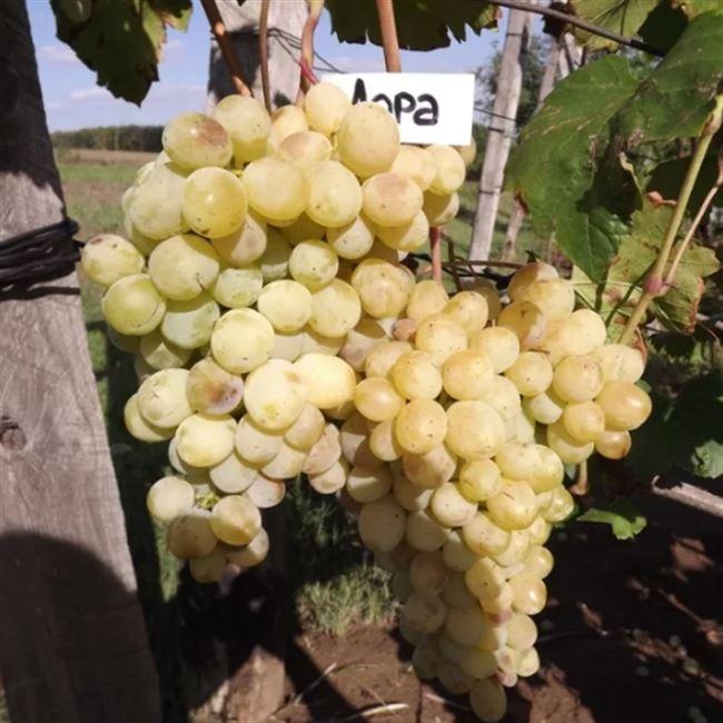 Сорт винограда Лора – описание и характеристики, морозостойкость, урожайность, отзывы