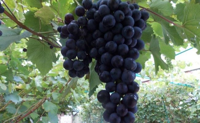 Сорт винограда Северный