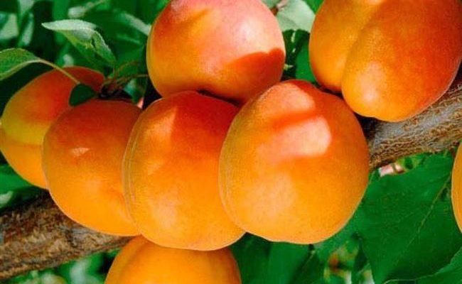 Сорта абрикоса для нетрадиционных районов