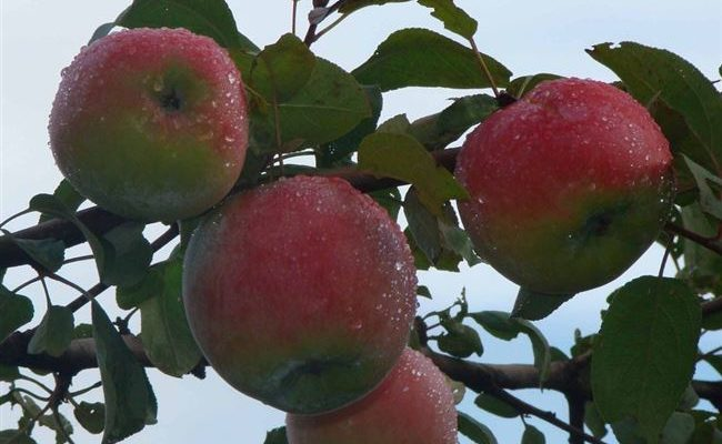 Сорта яблок Ранет