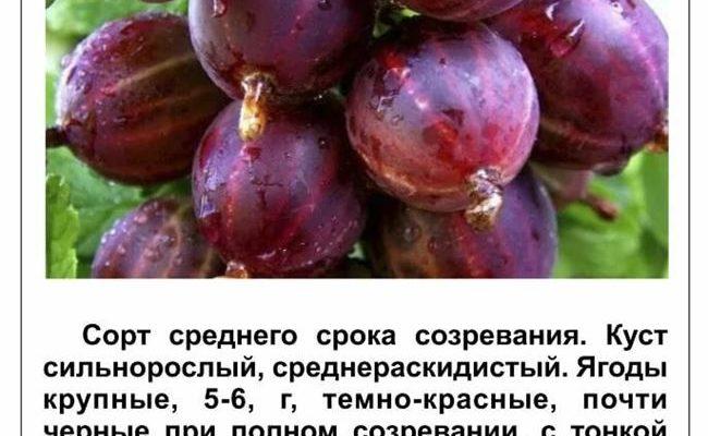 Сорта красного крыжовника и правила его выращивания
