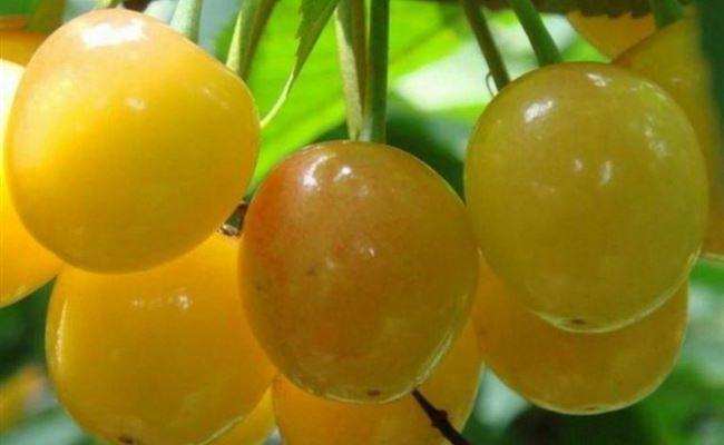 Сорта желтой черешни с названием и описанием