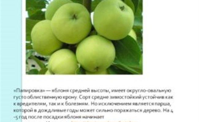Сортовая яблоня Папировка: фото и описание