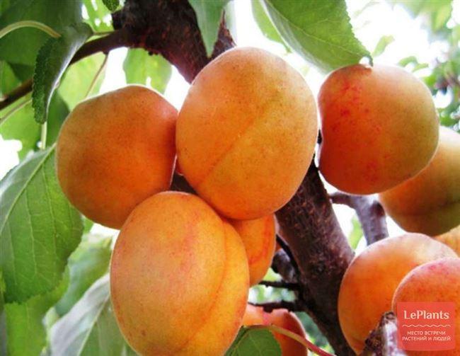 Сортовая характеристика плодов