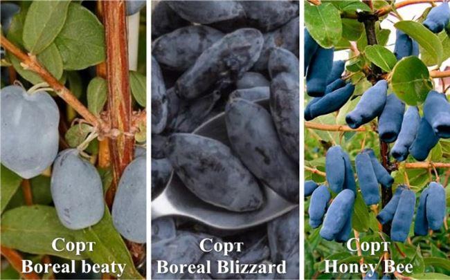 Советы и отзывы опытных огородников о сорте