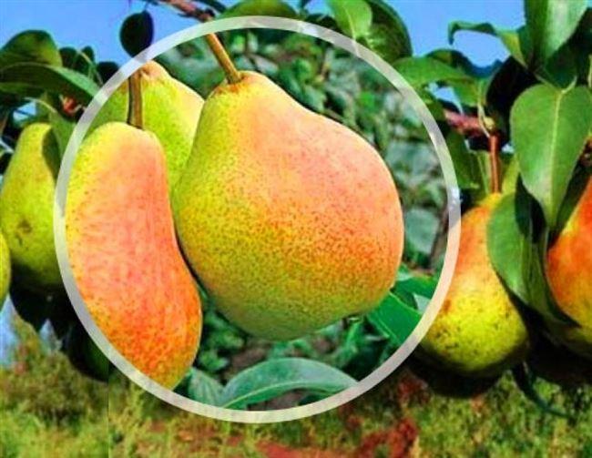 Сроки плодоношения