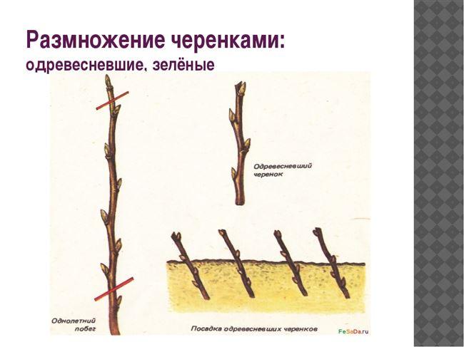 Сроки размножения укоренением черенков