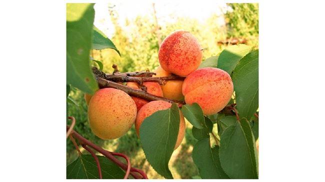 Таблица: Вредители абрикоса Монастырский и методы борьбы с ними
