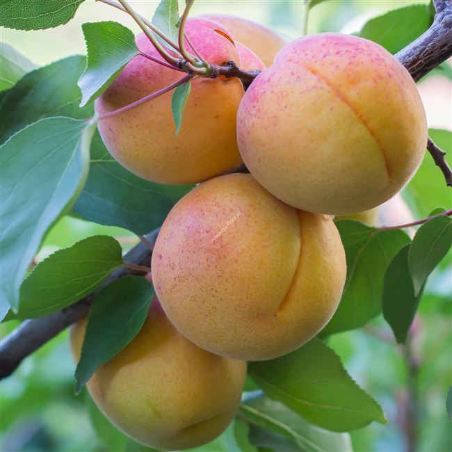Таблица: характеристика абрикоса Водолей