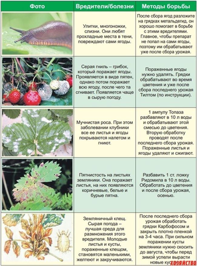 Таблица: вредители, болезни и меры борьбы