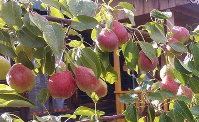 Терпкая осенняя красавица — груша «Каратаевская»