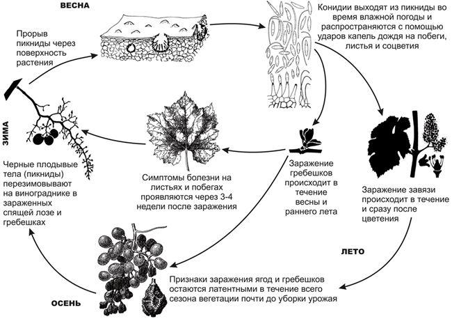 Цикл развития и течение болезни