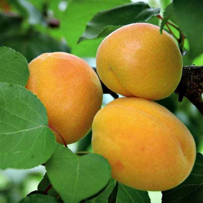Цвет плода