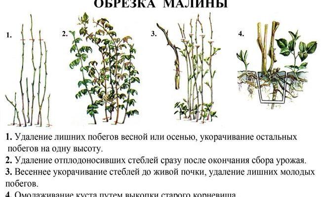 Уход за малиной для хорошего урожая: полная информация