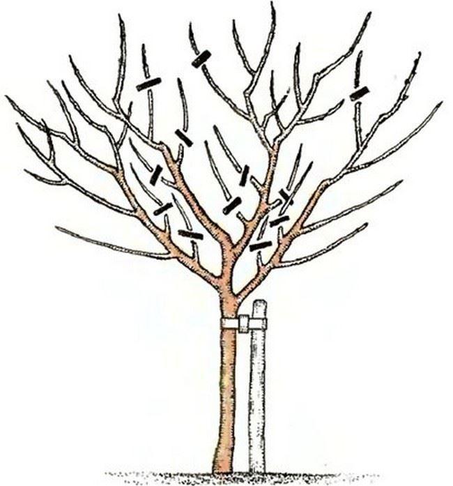 Уход за плодовым деревом после обрезки