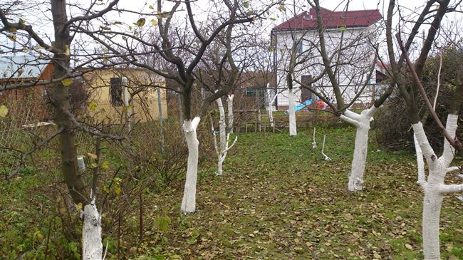 Уход за старой яблоней осенью