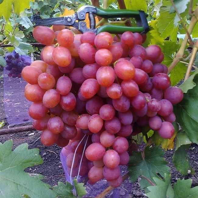 Уход за виноградной лозой