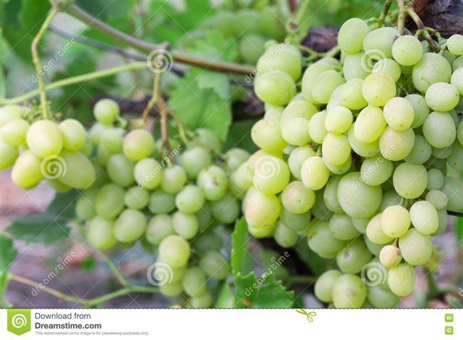 Уход за виноградом Кеша