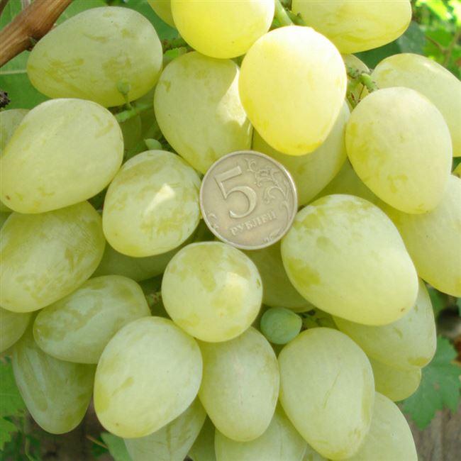 Уход за виноградом Монарх