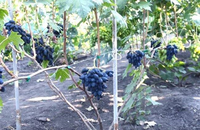 Уход за виноградом Ромбик