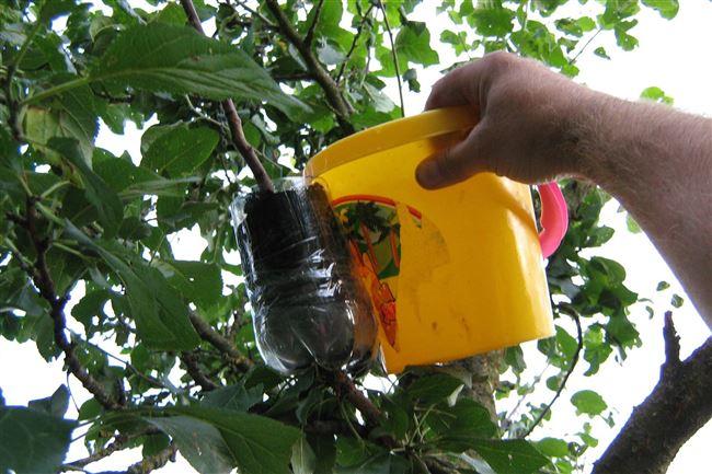 Укоренение черенков яблони воздушными отводками