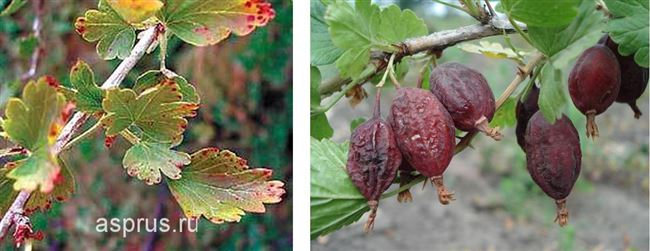 Уничтожение зараженных листьев и ягод