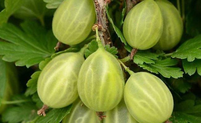 Уральский виноград — внешний вид и основные характеристики сорта