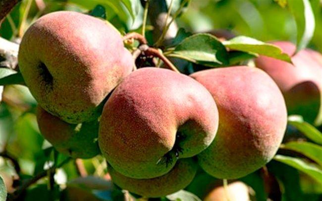 Урожайность сорта груши Елена