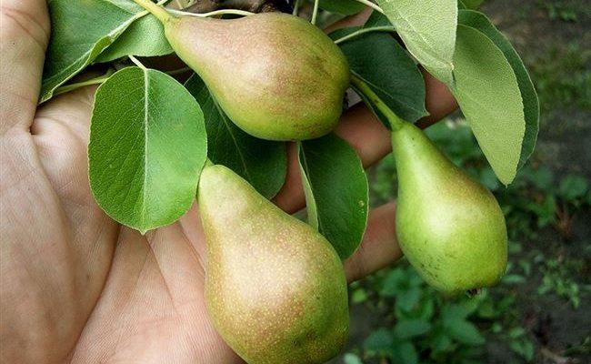Урожайный сорт груши Новогодняя зимняя с румяными плодами