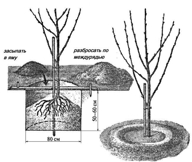 Условия для посадки черешни и основной уход