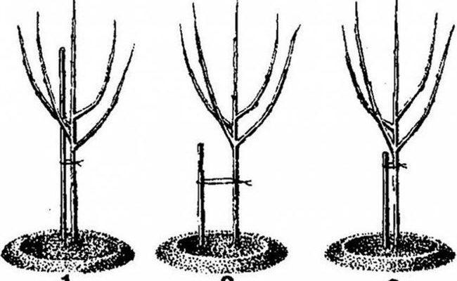 Узнайте, как подвязывать яблоню правильно? Пять способов подвязки