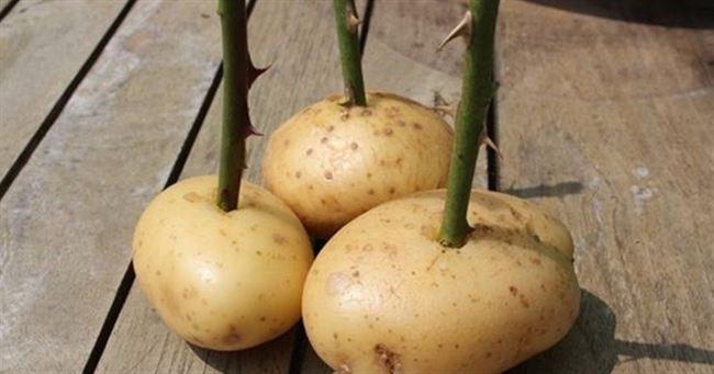 В картофельных клубнях