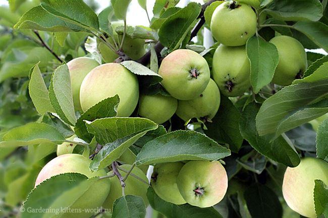 Видео: Как правильно собрать и сохранить урожай яблок на зиму
