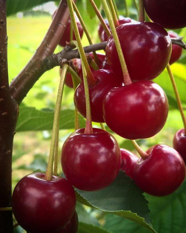 Видео «Правильный выбор саженца вишни»